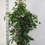 1.5m Ficus Benjamina exotika bush