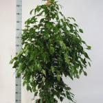1.8m Ficus Benjamina exotika bush