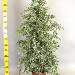 1.5m Ficus Benjamina Variegated bush