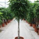 3m Ficus Alii standard
