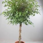 1.8m Ficus Benjamina Braided stem Standard