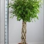 1.8m Open braided Ficus Benjamina standard