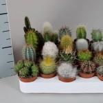 1x20 Mixed Cacti in 5.5cm pots