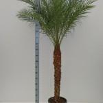 210cm Phoenix robellini palm