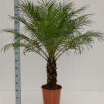 130cm Phoenix robellini palm