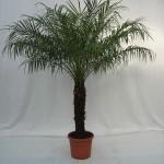 170cm Phoenix robellini palm