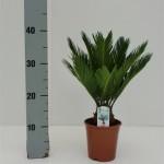 12cm pot Cycas