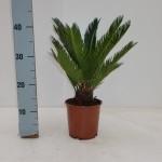 14cm pot Cycas