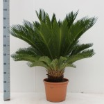 21cm pot cycas, 100cm tall.