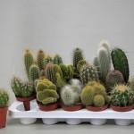1x18 Mixed cacti in 8.5cm pots