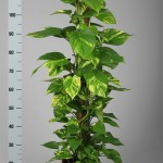 Schindapsus Mosspole 120cm tall.