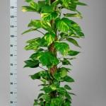 Schindapsus Moss pole 150cm tall.