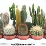 1x12 Mixed Cacti in 10.5cm pots