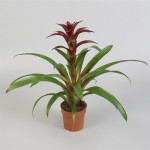 Burgundy Guzmania in 12cm pots supplied in boxes of 12.