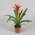 Red Guzmania in 12cm pots supplied in boxes of 12.