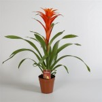 15cm pot Guzmania, 80cm tall, available in boxes of 8.