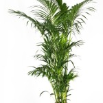 2.4m Kentia (Howea Forestiana)
