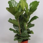 3 Plant per pot Ficus Lyrata, usually available around 1.3-1.8m