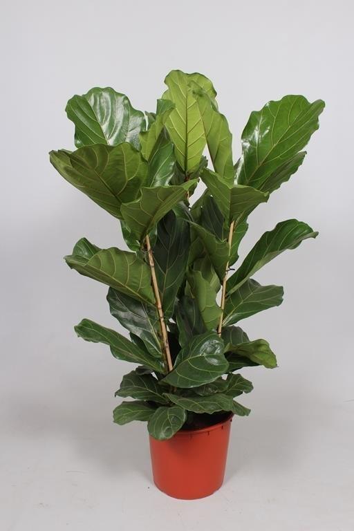 arnott mason plant groups ficus. Black Bedroom Furniture Sets. Home Design Ideas