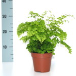 "Adiantum ""Maidenhair"" Fern in 12cm pot available in trays of 10"
