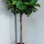 Standard shape Ficus Lyrata, sizes available from 1.5m-6m