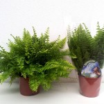 Nephrolepsis fern in 12cm pot, available in trays of 10.