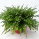 Nephrolepsis 32cm pot, spread of around 90cm