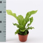 Asplenium Nidus in 12cm pot, available in trays of 10.