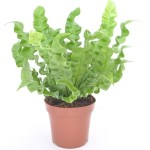 Asplenium Crispy Wave in 12cm pots, available in trays of 8