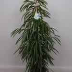 1.5m Ficus Alii bush