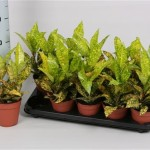 Croton Gold Finger in 12cm pot, available in trays of 10