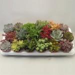1x18  Mixed succulents in 8.5cm pots.