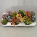 1x12 Mixed Succulents in 10.5cm pots