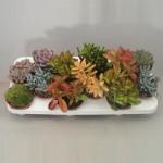 1x12 Mixed Succulents in 10.5cm pots