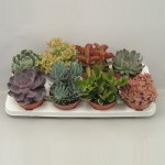 1x8 Mixed Succulents in 12cm pots.