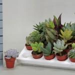 1x20 Mixed Succulent in 3.5cm pots.