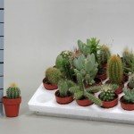 1x20 trays of mixed Cacti in 3.5cm pots
