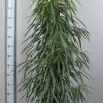 1.8m Ficus Alii Bush
