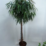 2m Ficus Alii standard