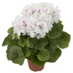 White pelargoniums