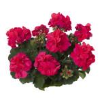 Fuschia geranium