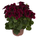 Chocolate pelargoniums