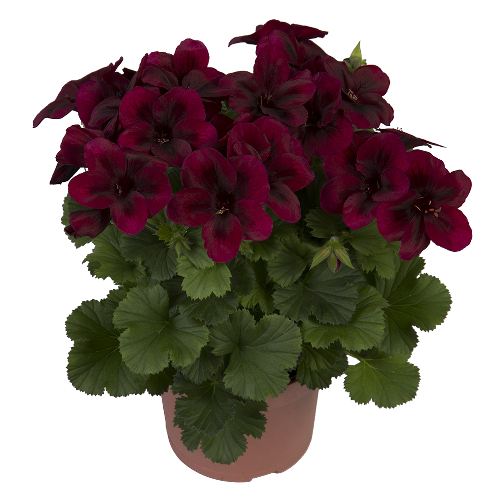 Plants for spring and summer - Chocolate Pelargoniums