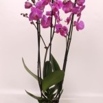 "12cm pot 2 stem Phalaenopsis ""Atlantis"""