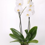 Cambridge Phalaenopsis 12cm