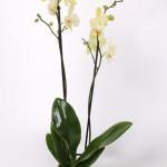 Candela Phalaenopsis 12cm