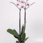 Castor Phalaenopsis 12cm