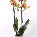 Charmer Phalaenopsis 12cm
