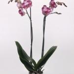 Chien Xen pearl phalaenopsis 12cm