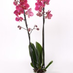 Diamond king Phalaenopsis  12cm